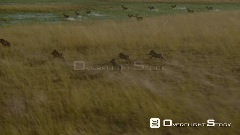 Aerial long shot warthogs and antelopes running through flooded plains, camera, follows one warthog Okavango Delta Zimbabwe