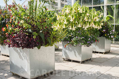 Metal containers on the glasshouse terrace planted with lush exotics including brugmansias, cleomes, heliotropes, Impatiens s...