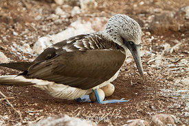 A blue-footed booby finds a way to incubate it's eggs with it's own body heat.