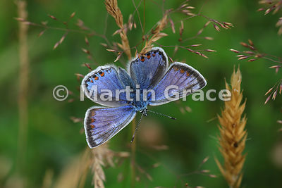 Upper side of male Common Blue butterfly (Polyommatus icarus) on grass, Cairngorms National Park, Badenoch, Scottish Highlands