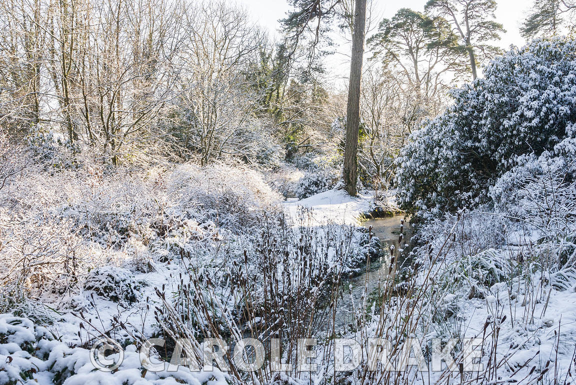 Rhododendrons and azaleas covered with snow beside the stream in the valley bottom. Minterne, Minterne Magna, Dorchester, Dor...