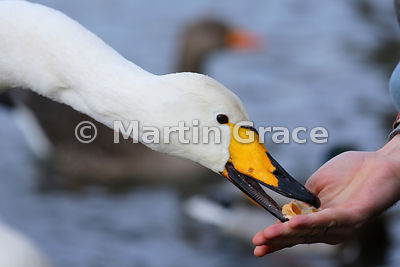 Wild Whooper Swan (Cygnus cygnus) being hand-fed in the waterfowl chaos of Tjornin City Pond, Reykjavik, in winter
