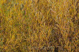 Autumn Willows along Rio Grande in Rio Grande del Norte National Monument