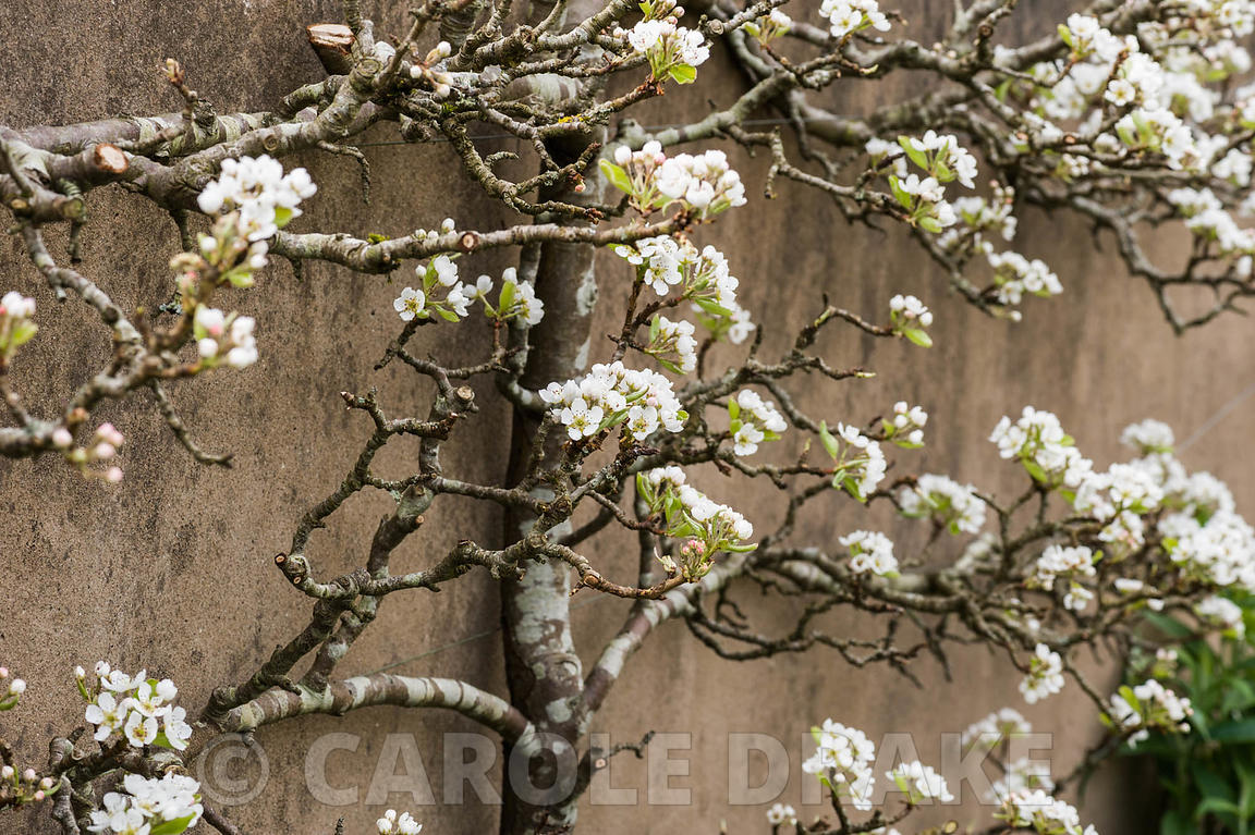 Espaliered fruit tree against the wall of the kitchen garden. Brilley Court Farm, Whitney-on-Wye, Herefordshire, UK