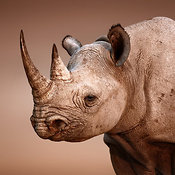 Black Rhinoceros portrait close-up