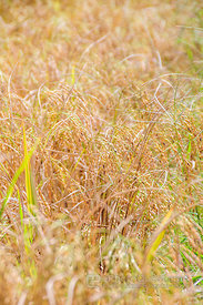 Yellow Rice Stalks Ready for Harvesting