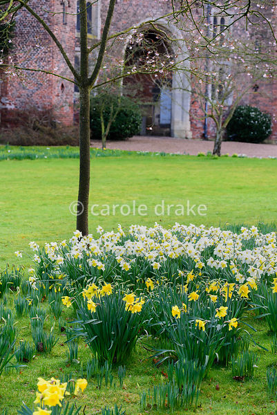 Daffodils below delicate blossom at Hodsock Priory, Blyth, Notts