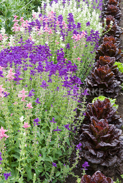 Line of clary sage beside purple lettuces. Clovelly Court, Bideford, Devon, UK