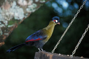 Hartlaub's Turaco, Tauraco hartlaubi, is endemic to East Africa, Aberdares National Park, Kenya