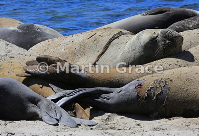 Heap of Southern Elephant Seals (Mirounga leonina) on the beach by The Plain, Carcass Island, Falkland Islands