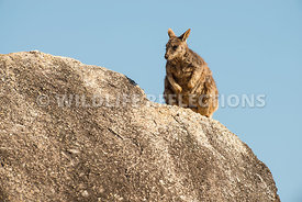 rock_wallaby_mareeba_rock_top-14