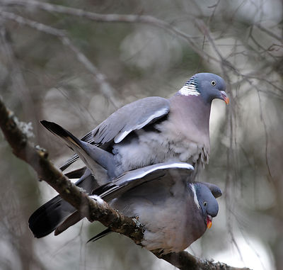 Ringduer, Common Wood Pigeon (Columba palumbus)