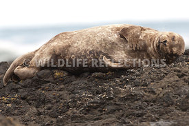 Harbor Seal Sleeping 1