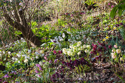 Double hellebores on a steep bank amongst daffodils and other woodlanders in a country garden planted for winter interest.