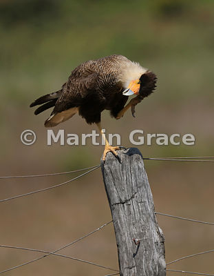 Southern Crested Caracara (Caracara plancus) standing on one leg on a fence post while it scratches its head, Northern Pantan...