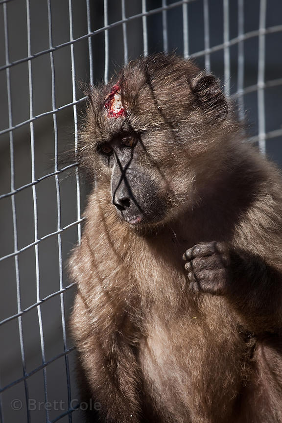 Sparky, a female chacma baboon electrocuted on power lines, Cape Peninsula, South Africa