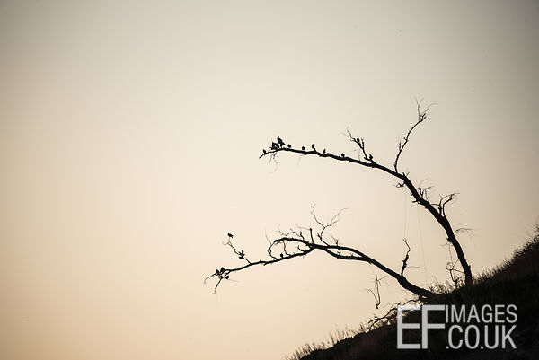 Sillhouetted Starlings Roosting On A Bare Tree In Erbil, Iraq