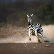 Zebra running at full speed with a dust trail