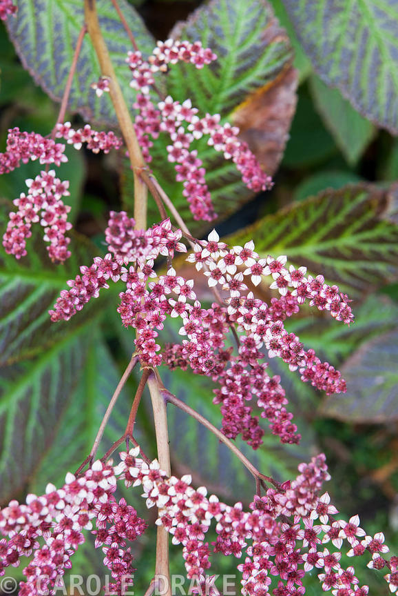Fading flowers of rodgersia. The Cors, Laugharne, Camarthenshire, Wales, UK