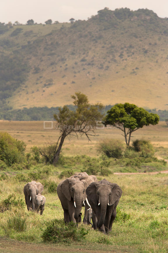 African elephant (Loxodonta africana) herd walking to the river to drink, Masai Mara Game Reserve, Kenya