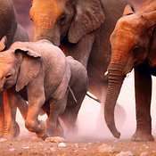 Elephants herd on the run over dusty sand