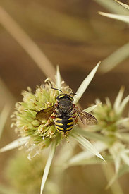 Anthidium strigatum, Rousson