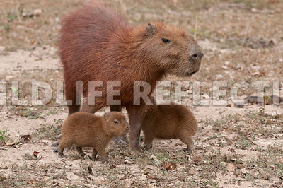 capybara_mom_pups09021301
