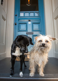 Two Small Terrier Mix Dogs Standing on Front Porch While One Looks Down