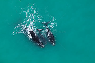 Aerial photograph of Southern Right Whales (Eubalaena australis) near Cape Agulhas, South Africa,  Western Cape Province, Ind...