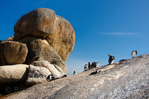 African penguins (Spheniscus demersus), on a boulder, Boulders Beach, South Africa