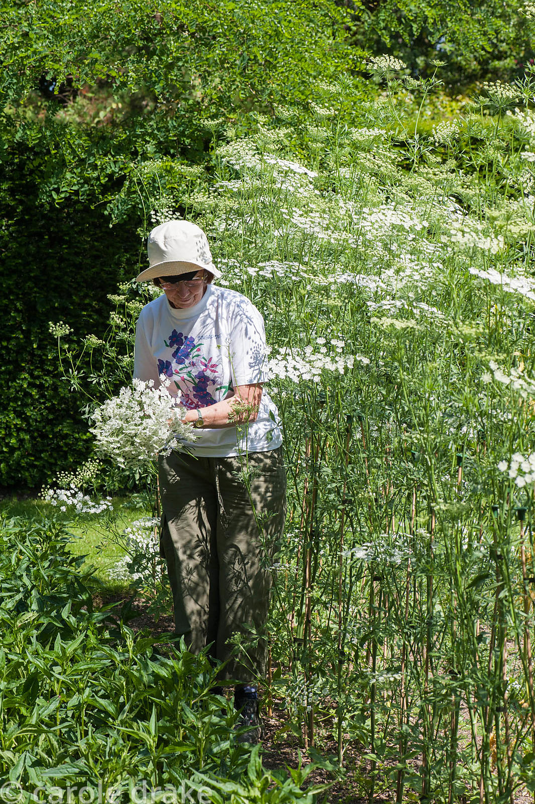 A volunteer cuts Ammi majus. Cotehele, St Dominick, nr Saltash, Cornwall, UK