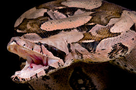 Red-tailed boa, Boa constrictor imperator, attack