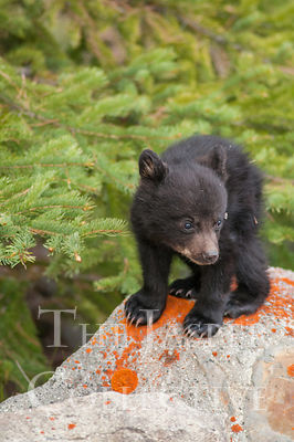 Black Bear Cub Standing on Lichen Rock