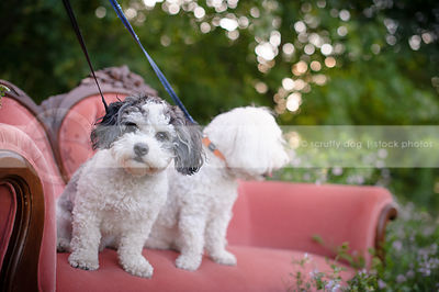 small grey and white groomed dog on pink settee outdoors