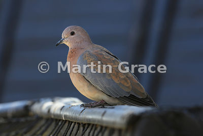 Laughing Dove (Streptopelia senegalensis), Sandton, Johannesburg, Republic of South Africa