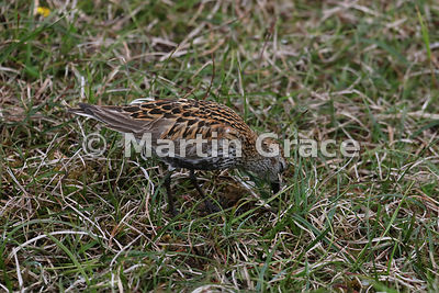 Dunlin (Calidris alpina) probing for food in damp ground, Hermaness National Nature Reserve, Unst, Shetland