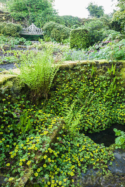 Ancient spring in the front garden framed by a low wall colonised by Chrysosplenium alternifolium and ferns. Windy Hall, Wind...