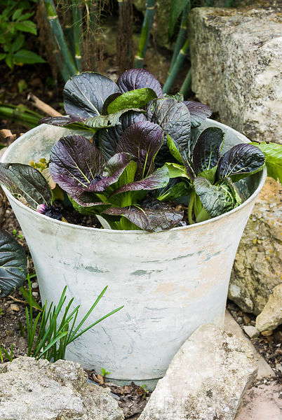 Red Pak choi growing in a bucket. The Shute, nr Ventnor, Isle of Wight, UK