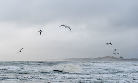 Danish seagulls on the coast 6
