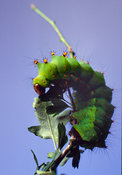 Silkworm moth caterpillar