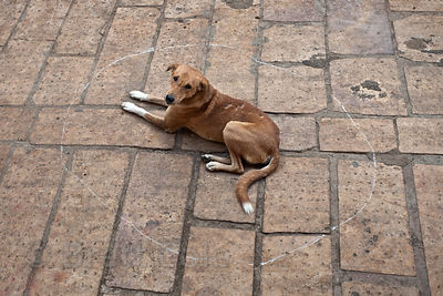 Dog sitting inside of a chalk circle drawn on the street in Jaisalmer, Rajasthan, India