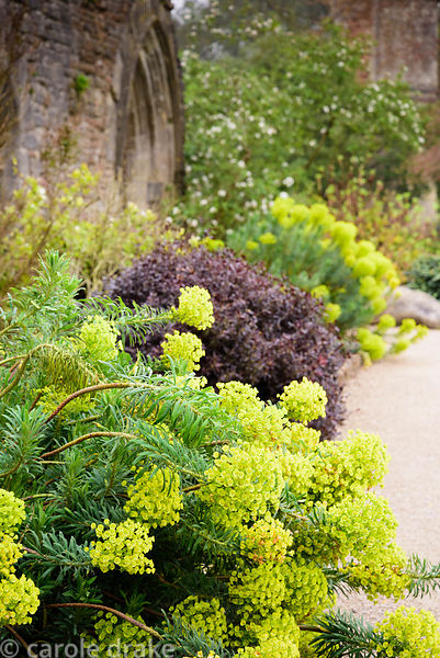 Euphorbia characias subsp. wulfenii interspersed with Pittosporum 'Tom Thumb' at the Bishop's Palace Garden, Wells, Somerset ...
