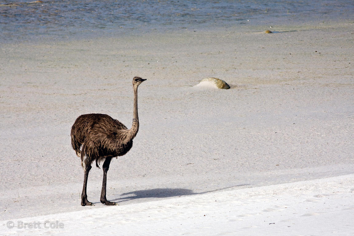 Wild Ostrich (Struthio camelus), Platboom Beach, Cape Peninsula, South Africa