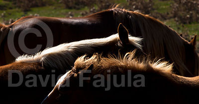 Foals (Equus caballus) among the herd