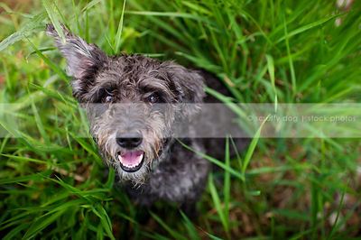 small grey dog staring up from grasses