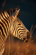 Burchell's zebra (Equus burchellii), Ithala Game Reserve, South Africa
