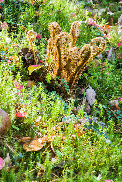 New fern fronds on a mossy bank. Greencombe Garden, Porlock, Somerset, UK