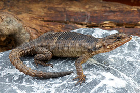 Cordylus polyzonus, Karoo girdled lizard, South Africa