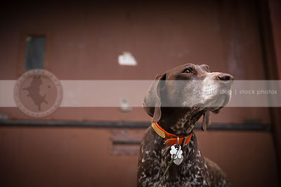 portrait of brown speckled dog at urban steel door