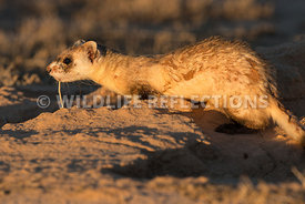 ferret_leaving_burrow-9